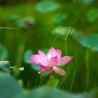 Beauty pink lotus or water lily is in middle lotus pond. Lotus field. The background is the lotus leaf, pink lotus flower, lotus bud in a pond. Viet Nam. Peace scene in a countryside, Vietnam. Beauty flower. Royalty high quality free photo image of a pink