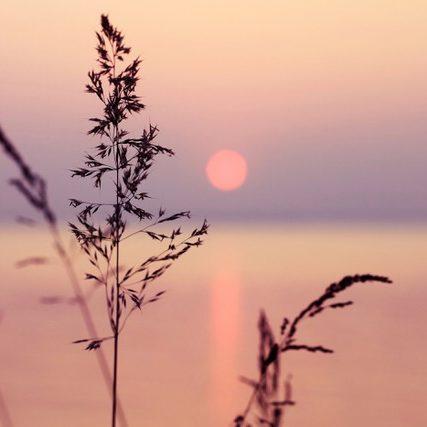 pink sunset reeds